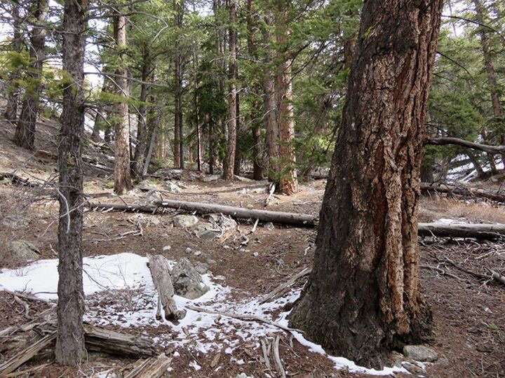 Higher up you will find good size ponderosa pine that escape the loggers. Dan Paulson Photo