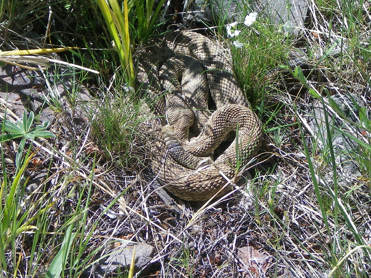 A timber rattler sunning itself in the pine forest of the South Ridge of Peak 9366. Another one was 2 feet away. Livingston Douglas Photo
