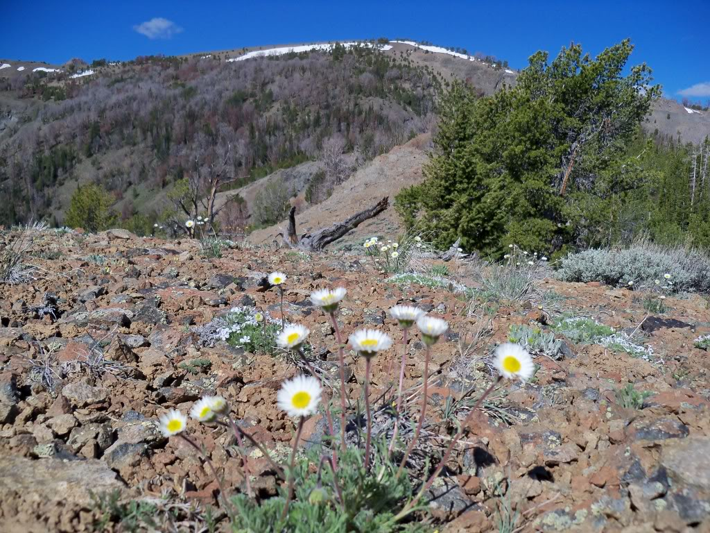 View W to Bartlett Mountain. Erigeron (daisy) in bloom. Rick Baugher Photo