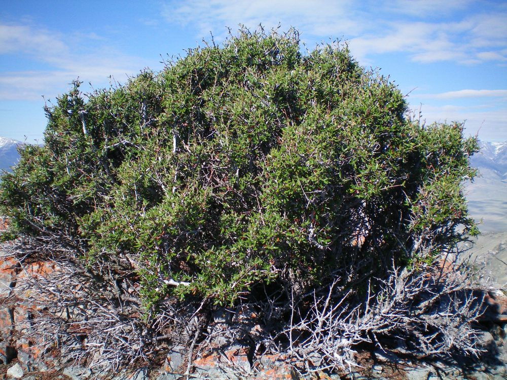 The prickly desert bush that sits atop the highest boulder on Peak 9085. Yes, this bush is the high point! Livingston Douglas Photo