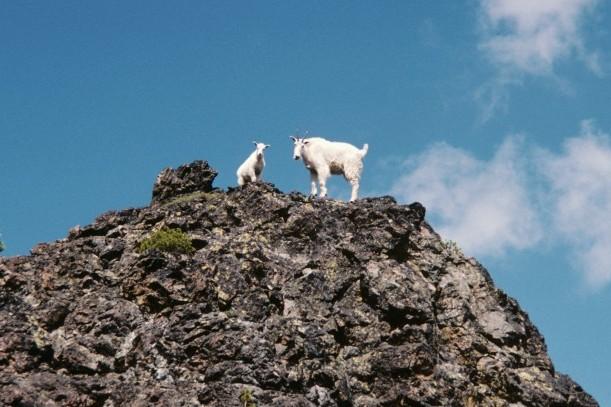 Goats 7 Devils