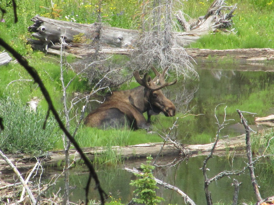 Moose in Summit Creek. Steve Mandella photo.