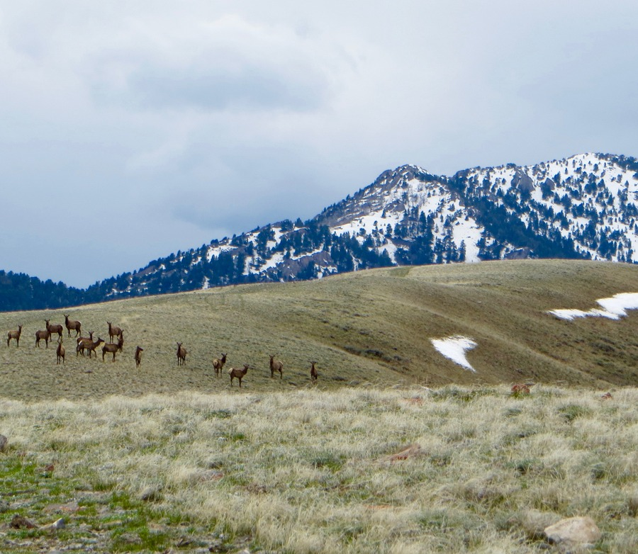 Elk herd as we approach the mellow summit of Peak 7768. Steve Mandella photo