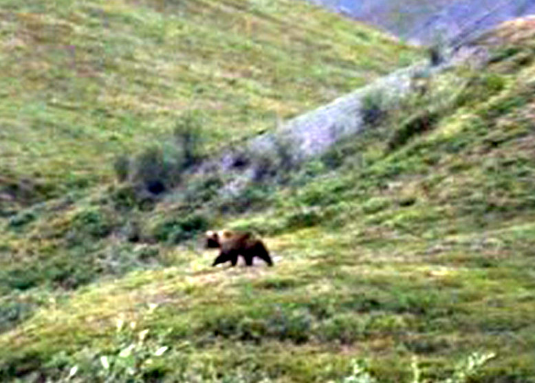 Grizzly from a distance. Tom Lopez photo.