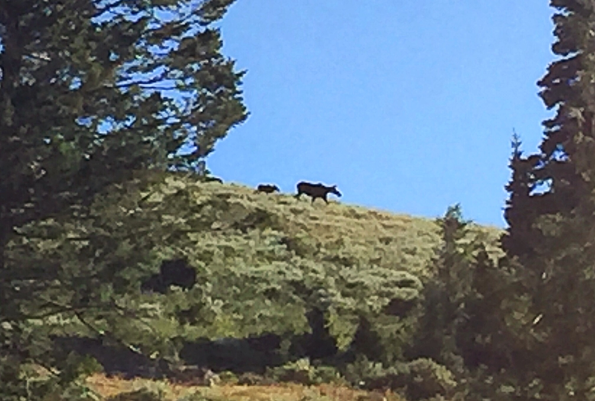 Moose just off the summit of Peak 7834 following the trail from Pine Creek Pass.