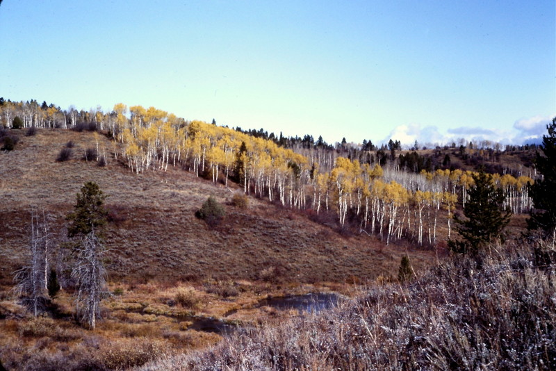 The range has large stands of Aspens.