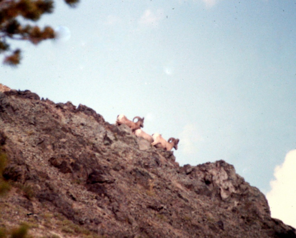 Bighorn sheep on Jordan's south ridge.