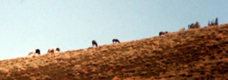 Wildhorses on Lone Pine Peak's lower slopes.
