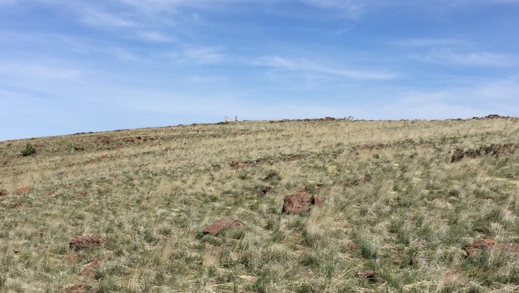Pronghorns on the summit of Toy Mountain.