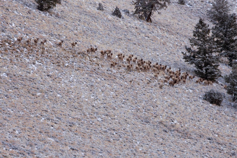 Elk in Sawmill Gulch. Larry Prescott Photo