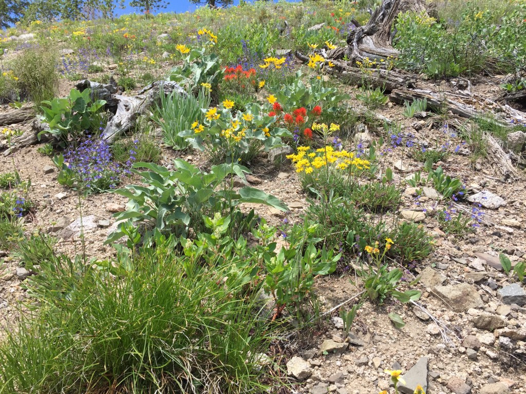 On June 19th, 2015 the wildflowers on the east ridge were in full bloom.